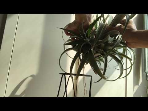 틸란드시아 카피타타 자구 제거하기 air plants: