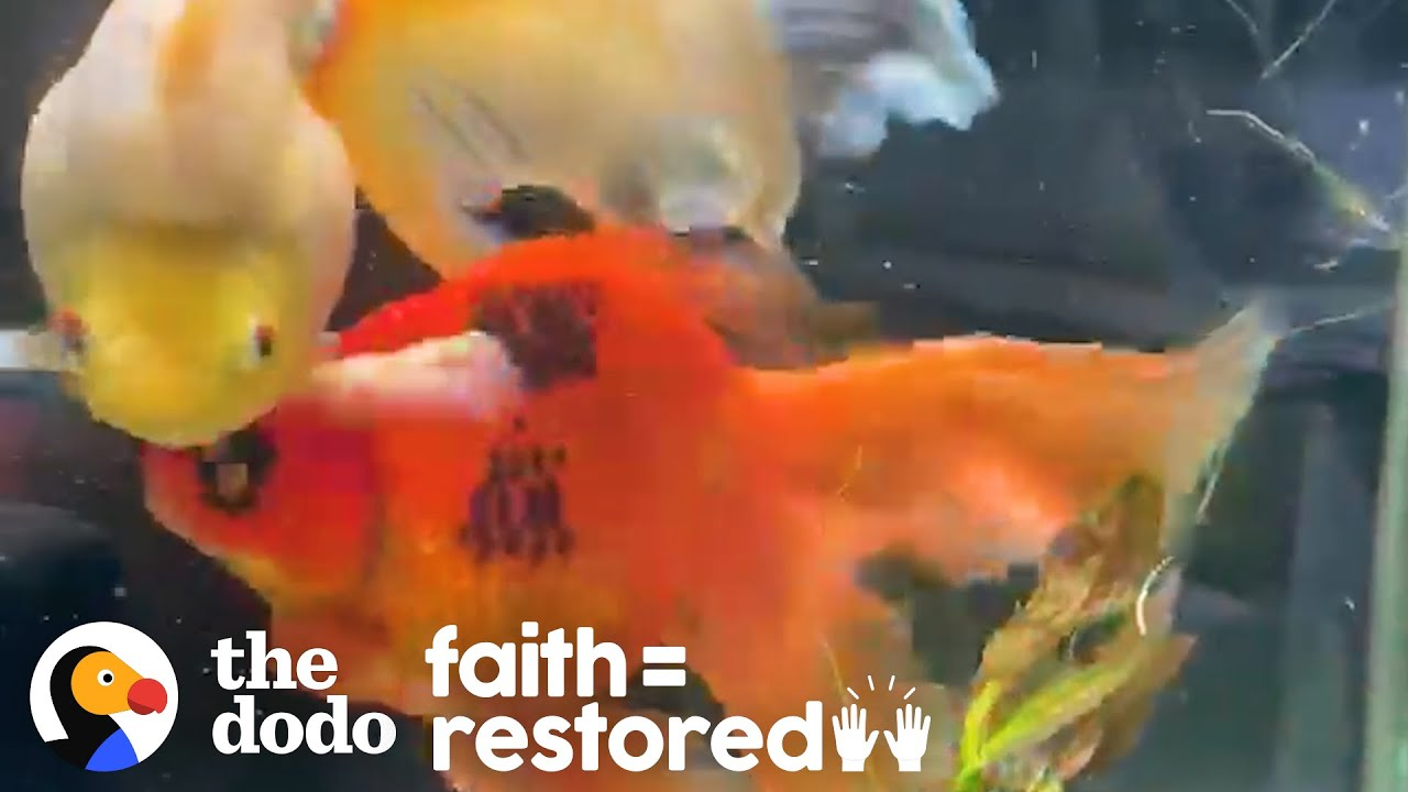 Woman Adopts A 10-Year-Old Goldfish And Completely Transforms Him | The Dodo Faith = Restored