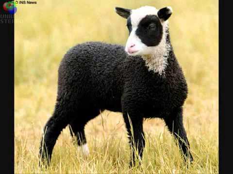 Baa Baa Black Sheep KARAOKE