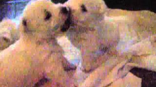 West Highland White Terrier - Szczeniaki 12.2010 (2)