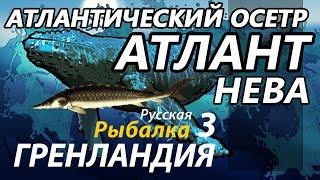 Атлантический осетр Нева КАЧ / РР3 [ Русская Рыбалка 3,9 Гренландия ].