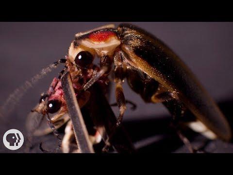 So ... Sometimes Fireflies Eat Other Fireflies | Deep Look