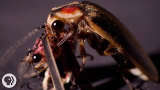 So ... Sometimes Fireflies Eat Other Fireflies | Deep Look