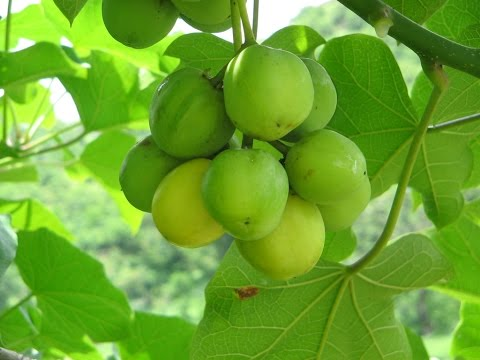 Jatropha curcas hope for future biodiesel production