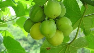 Jatropha curcas hope for future biodiesel production