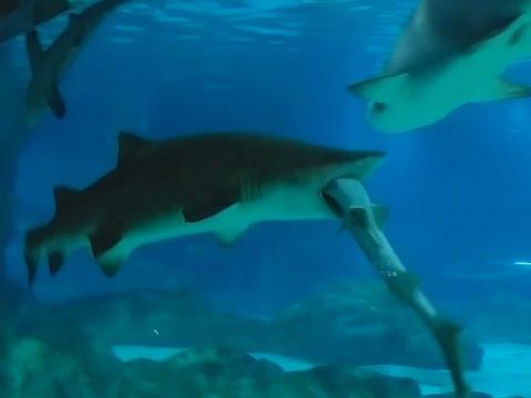 Südkorea: Hai frisst anderen Hai