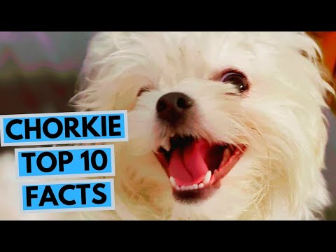 Chorkie - Top 10 Interesting Facts