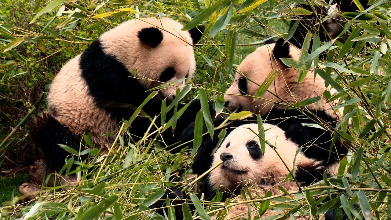 Raw Video Behind The Scenes At Chengdu Panda Base With