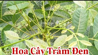 Cây trám đen giống, cây dược liệu quý dễ trồng, cây dược liệu ngăn ngày, cây ăn quả kinh tế cao.