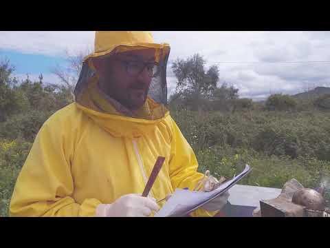 Metodo per bloccare la sciamatura (in apis mellifera siciliana)