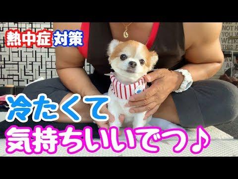 【夏の散歩対策】猛暑でもクールバンダナで10歳とは思えない足取りのチワワ【かわいい犬】【chihuahua】【cute dog】【ペット動画】