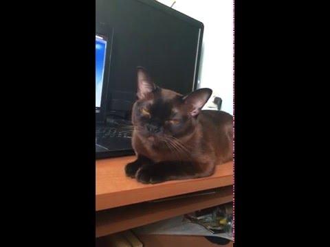 Бурманская кошка / Burmese cat