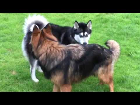 Dogs establishing rank and dominance, posturing behaviour to avoid conflict