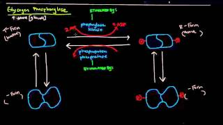 Glycogen (Part 4 of 4) - Regulation of Glycogen Metabolism
