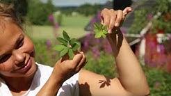 Villiyrtit: vuohenputki ruokana, tunnistus ja käyttö