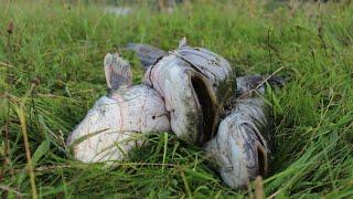 """""""Козырная"""" рыбалка на сома. Козырь - Выползок. Удача на 7 кило. Рыбалка на Свислочи."""