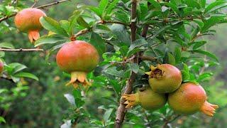 cách trồng cây lựu ra nhiều quả - Bí quyết trồng và chăn sóc cây lựu sai trĩu hoa   cây lựu bonsai