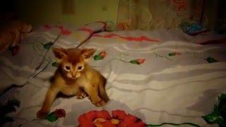 Абиссинские котята играют. Малыши дочки  нашей кошки.  Санкт-Петербург.