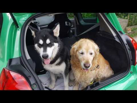 Alaskan Malamute's BFFs: Golden Retriever, German Shepherd, Aksaray Malaklisi and Karst Shepherd