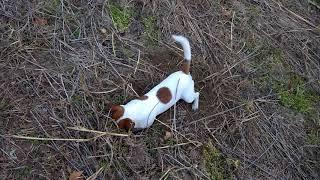 Jack Russell Terrier VS rat