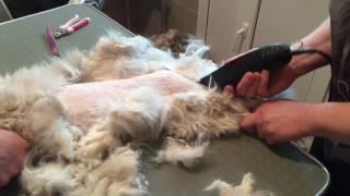 Стрижка Кошки в колтунах без наркоза, и зачем кошкам стригут когти! Часть 1