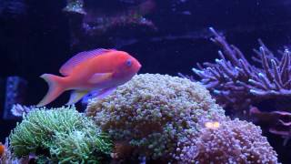Five Things About Square Spot Anthias (ft. Miss Saltwater Tank)