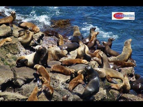 Seals at La Jolla Cove San Diego