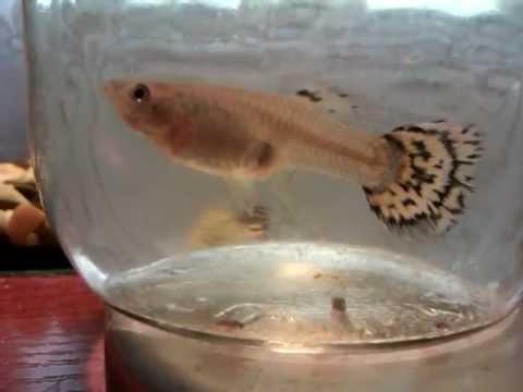 картинки гуппи рыбки