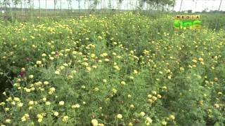 Drought destroys flower farms in Tamilnadu