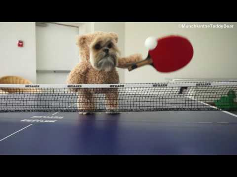 Munchkin the ping pong champion