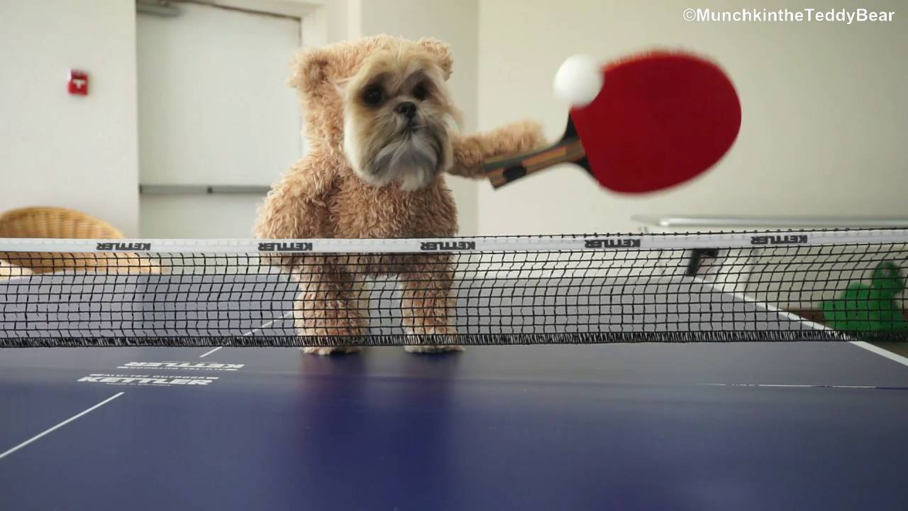 Munchkin The Ping Pong Champion Youtube