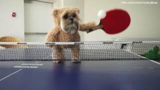 Munchkin the ping pong champion