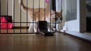 玄関防衛ライン突破されました-The Great Escape Cat-マンチカン/munchkin