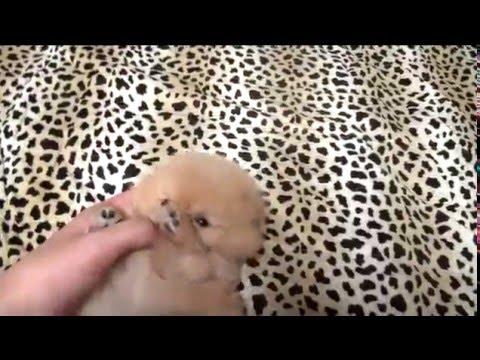 So cute teacup pomeranian for sale! tea cup puppy for sale!!