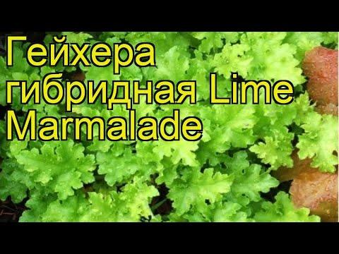 Гейхера гибридная Лайм Мармелад. Краткий обзор, описание характеристик heuchera Lime Marmalade