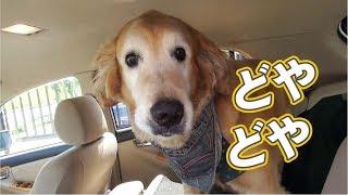 車に飛び乗りカメラに向かってドヤ顔をするゴールデンレトリバーのココ...