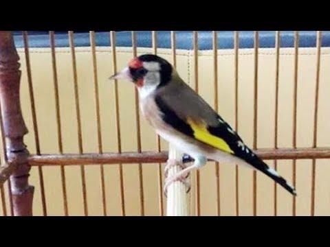 Download Lagu Kicauan Burung Goldfinch Gacor Suara Cakep Buat Masteran