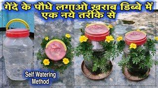 कैसे लगाए गेंदे के पौधे ख़राब डिब्बे में बिल्कुल नए तरीके से l Self Watering Method l Best Trick