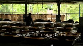 Tea leaves being oxidised at Gatoonga Tea Factory in Assam