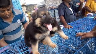 Excellent Quality Imported Blood Line German Shepherd Puppy Rs 18000