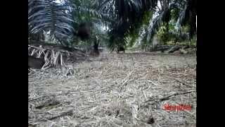 Ayam Hutan Pikat Betina 56