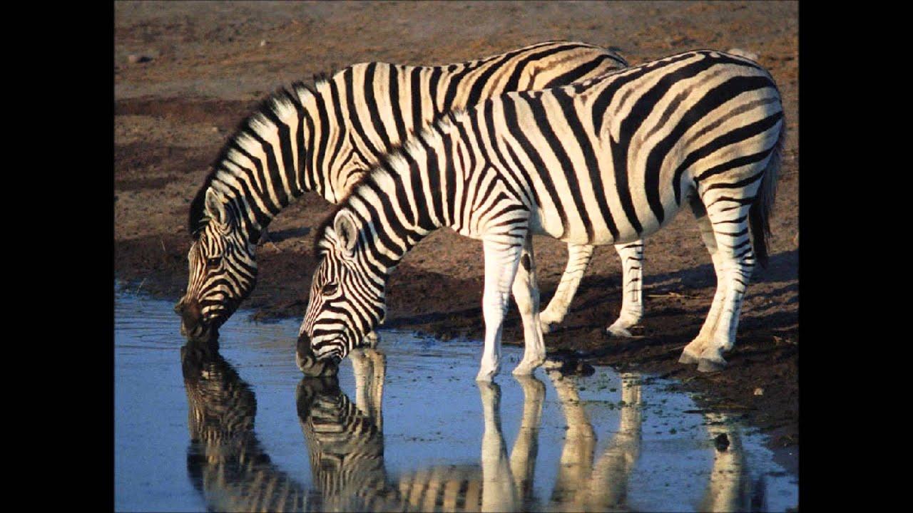 Il Verso Della Zebra Video Interattivo