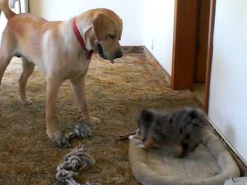 Toy Australian Shepherd bullying a Labrador Retriever