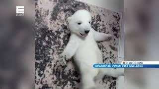 В интернете появилось новое видео с малышами красноярского белого медведя Седова