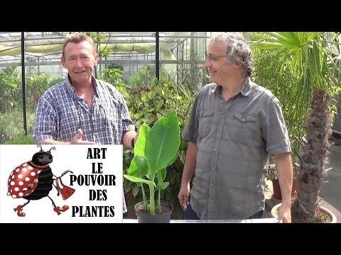 Jardinage:Comment faire la culture et division de canna: Plante annuelle