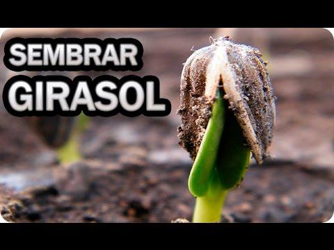 Como cultivar girasoles sembrar las pipas la huertina de toni youtube - Como se planta el bambu ...