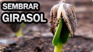 Como Cultivar Girasoles - Sembrar Las Pipas || La Huertina De Toni