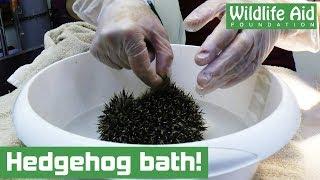 Muddy hedgehog needs a bath!