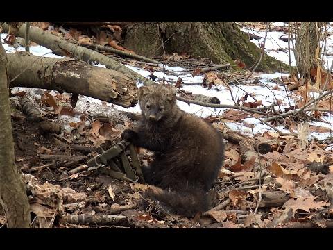 Trapping Furbearers - Hunter's Trapline 2017