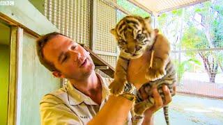 Handraising Newborn Twin Tiger Cubs | BBC Earth Kids